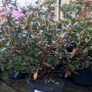 Azalea japonica 17cm
