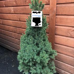 Picea Albertiana Conica 4.5L