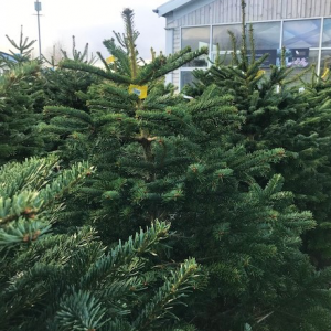 100 - 125cm Potted Spruce