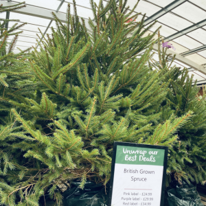 125 - 150cm Potted Spruce