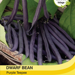 Dwarf Bean Purple Teepee