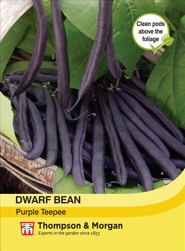 Dwarf Bean Purple Teepee