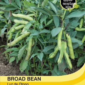 Broad Bean Luz de Otono