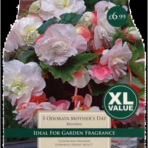 XL Value Begonia Odorata MD
