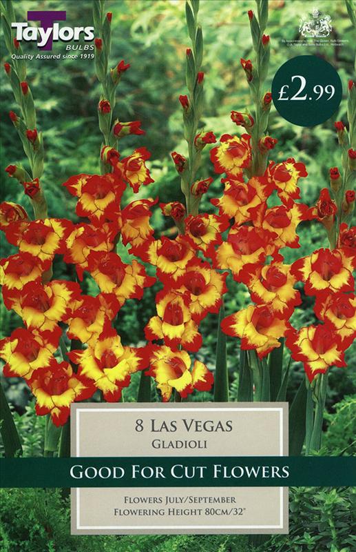 Gladioli Las Vegas 8Up