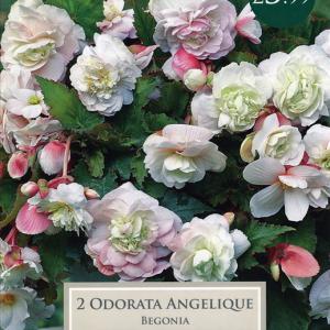 Begonia Odoarata Angelique