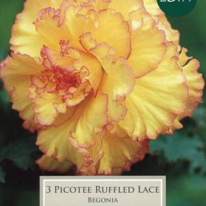 Begonia Picotee Ruffled Lace