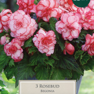Begonia Rosebud