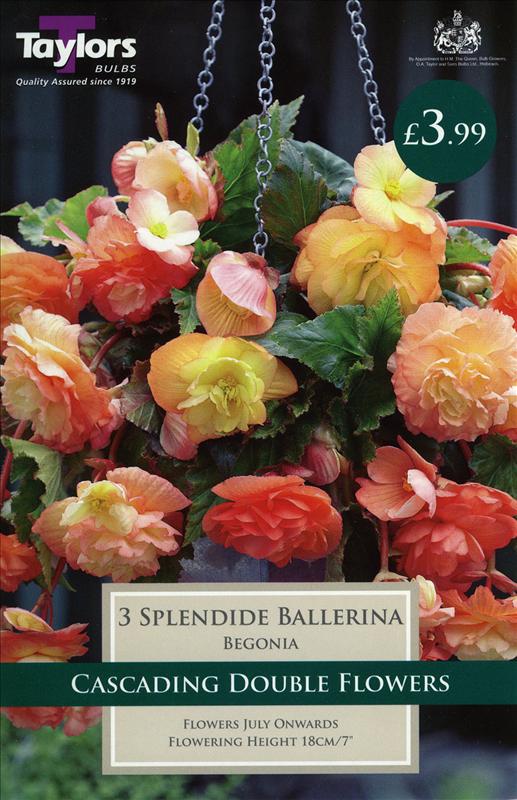 Begonia Splendide Bal