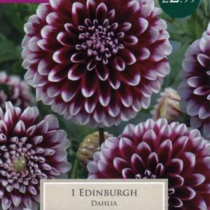 Dahlia Edinburgh
