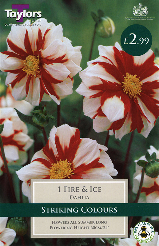 Coll & Ane Dahlia Fire And Ice