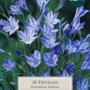 Triteleia Koningin Fabiola