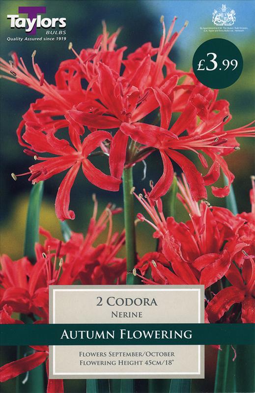 Nerine Codora 12-14