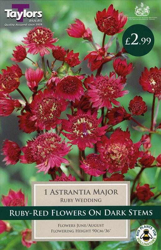 Cottage Garden Astrantia Major