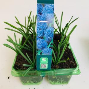 Muscari Blue Spike 4 pack
