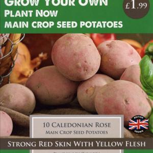 Caledonian Rose 10 Pack