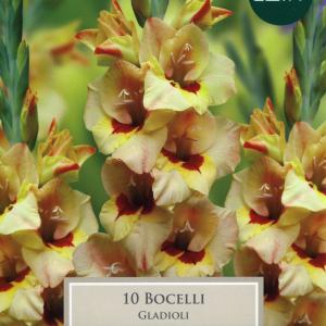 Gladioli Bocelli