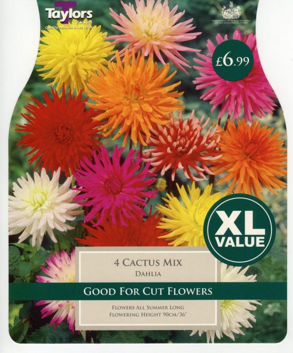 XL Value Dahlia Cactus