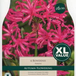 XL Value Nerine