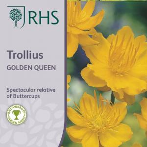 RHS Trollius Golden Queen