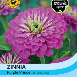 Zinnia Purple Prince