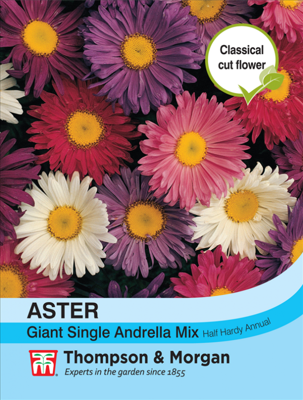 Aster Giant Single Andrella