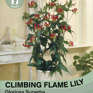 Climbing Flame Lily