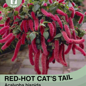 Red-hot Cat's Tail