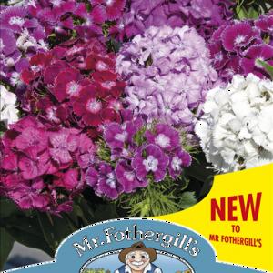 Dianthus Hollandia Mixed