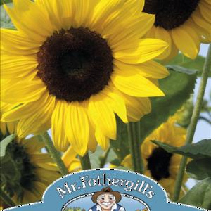 Sunflower Soleo F1