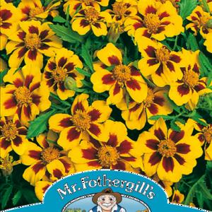 Marigold (French) Naughty Marietta