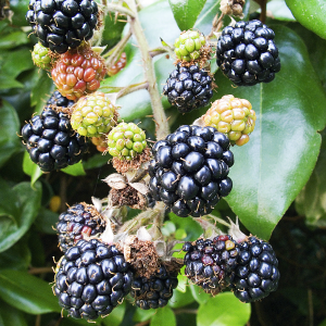 Blackberry Bedford Giant