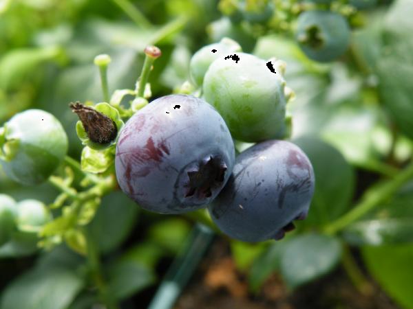 Blueberry Blue Crop