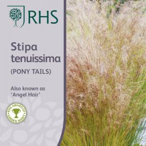 Rhs Stipa Tenuissima (Pony Tails)