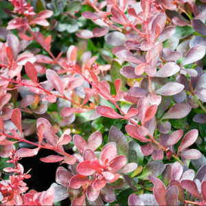 Berberis thunb. 'Atrop. Nana' 2ltr