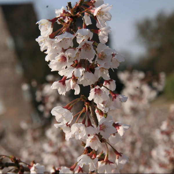 Prunus incisa 'Kojo-no-mai' 3ltr