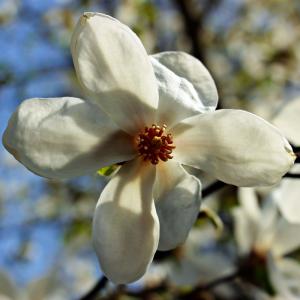 Magnolia Stellata Alba