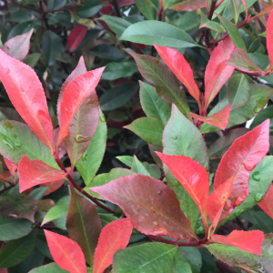 Photinia fraseri Carre Rouge