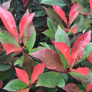 Photinia fraseri Carre Rouge 1/2 Std