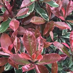 Photinia fraseri Louise