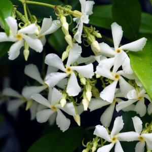 Trachelospermum jasminoides Arch