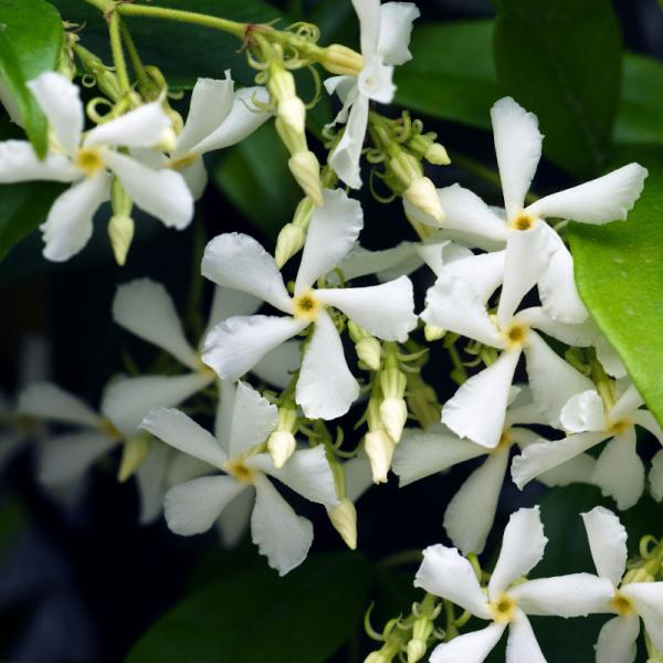 Trachelospermum jasminoides Frame 80x40cm