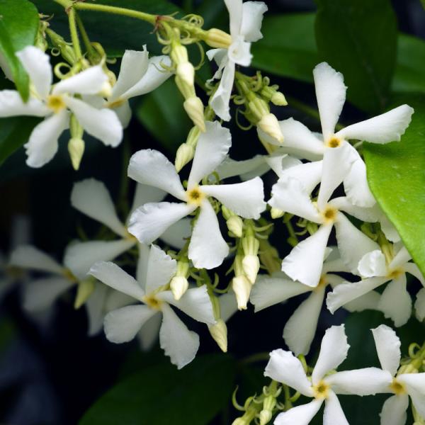 Trachelospermum jasminoides on Frame 150x50cm