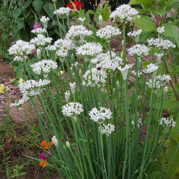 Chives Garlic 9cm