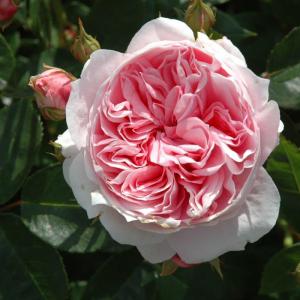 Dunham Massey Rose