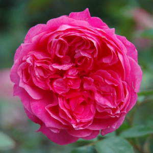 Ivors Rose Rose