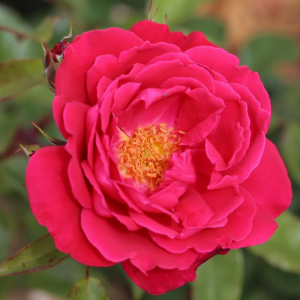 Papworth Pride Rose