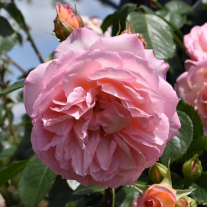 Fragrant Celebration Rose