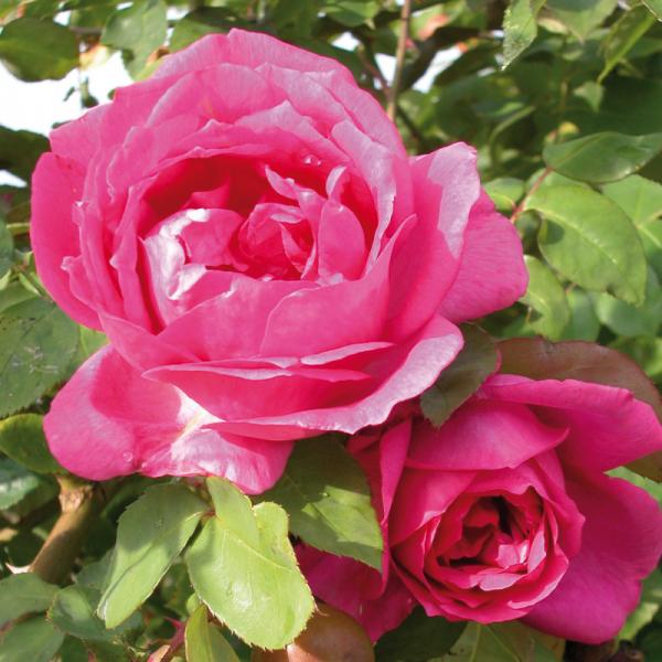 Sir Paul Smith Rose