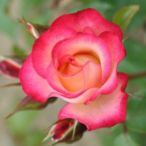 Birthday Girl Gift Rose